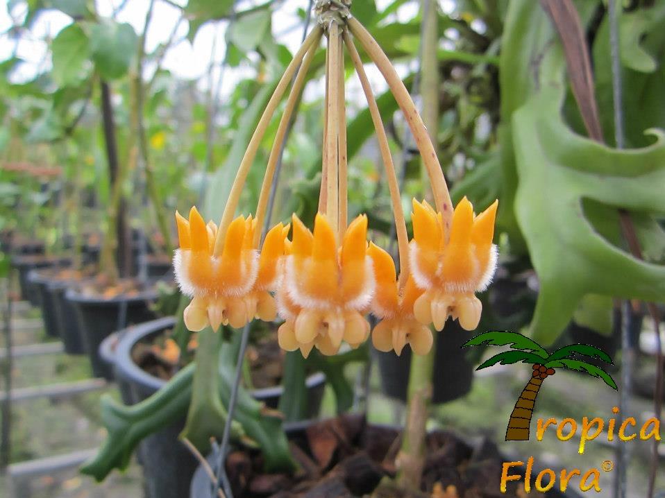 Hoya Flower 2
