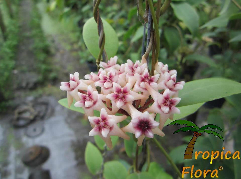 Hoya Flower 3