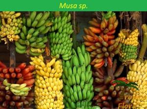Musa sp.